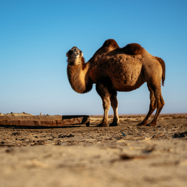 """Adult two-humped camel in steppe, Kazakhstan"" stock image"
