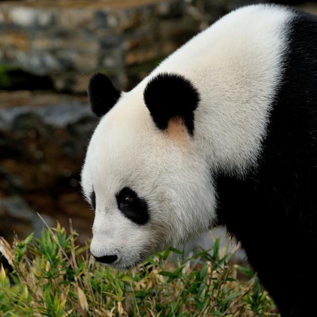 """""""Giant Panda"""" stock image"""