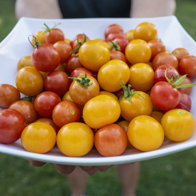 """""""RED AND GOLDEN GARDEN GROWN CHERRY TOMATOES, BOSTON, MA, USA"""" stock image"""