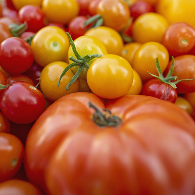 """""""RED AND YELLOW GARDEN GROWN TOMATOES, BOSTON, MA, USA"""" stock image"""