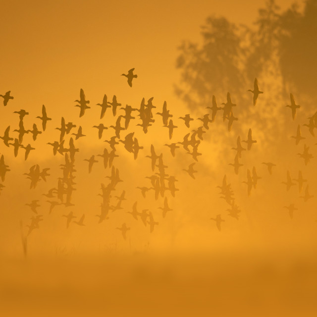 """Flock of birds flying at Sunrise"" stock image"
