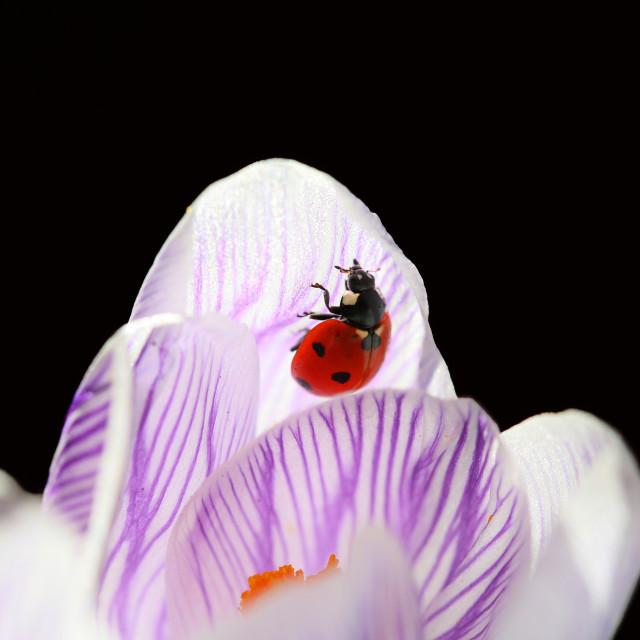 """Ladybug living in my garden is beautiful."" stock image"