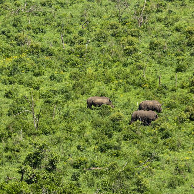 """0683 - South Africa: white rhinoceros"" stock image"