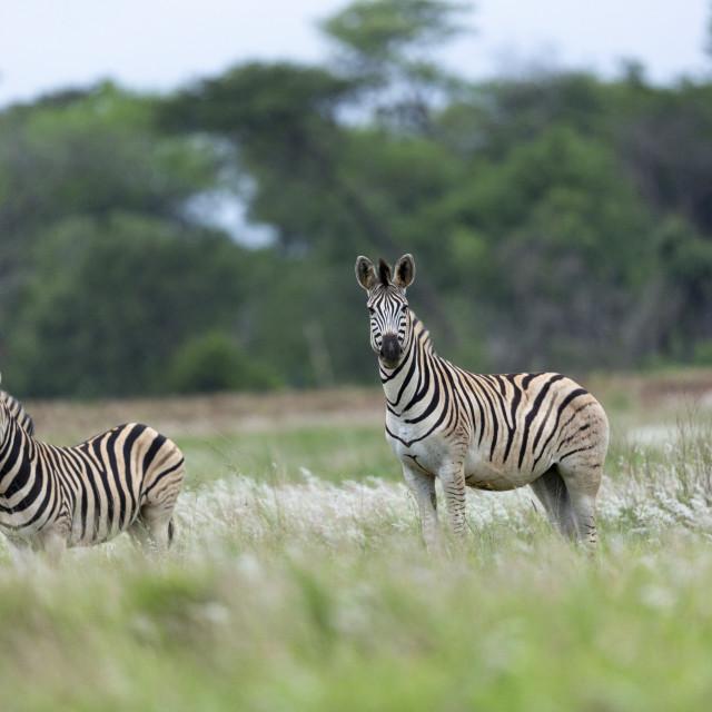 """0786 - South Africa: zebras in Kwazulu-natal"" stock image"