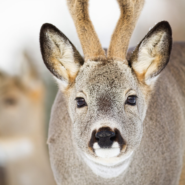 """Portrait of roe deer buck facing camera in wintertime"" stock image"