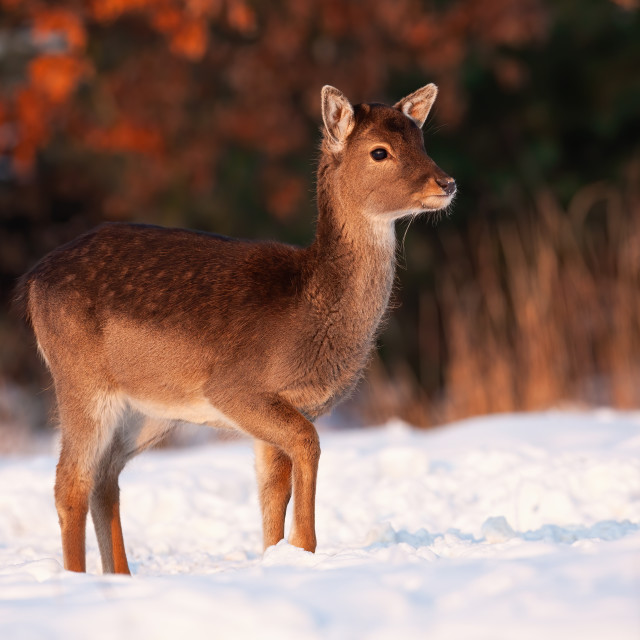 """Fallow deer fawn walking through snow on a meadow in winter"" stock image"