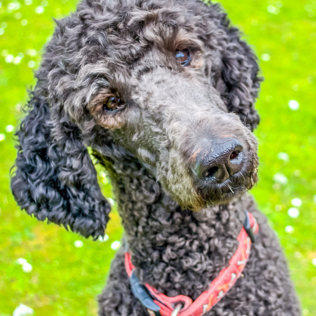 """""""Poodle turning head and listening"""" stock image"""