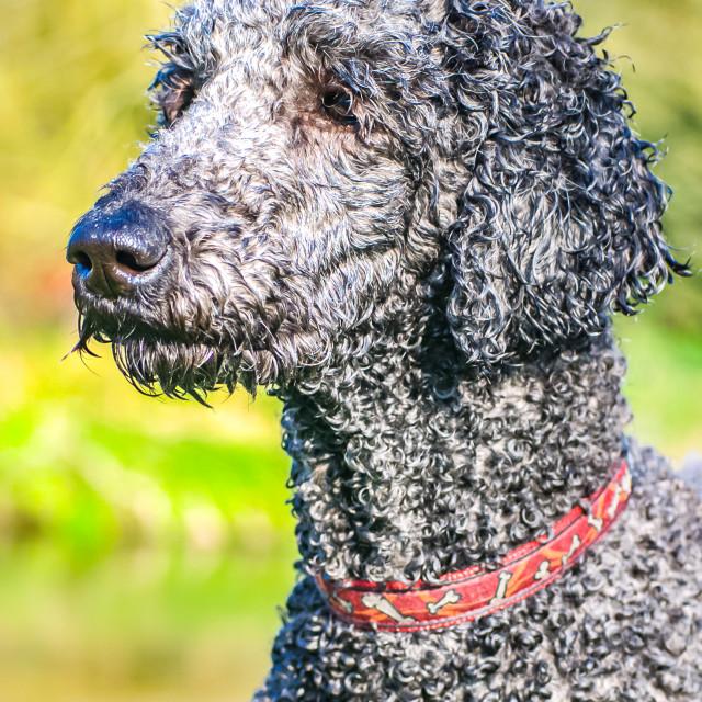 """""""Perfect Poodle Portrait"""" stock image"""