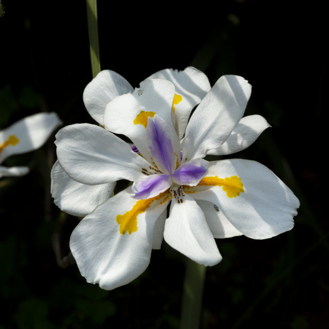 """""""0803 - South Africa: the large wild iris is native South Africa"""" stock image"""