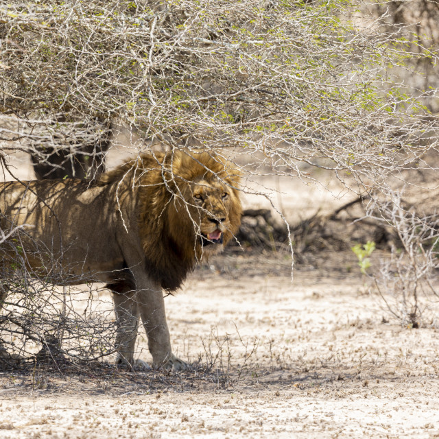 """""""0459 - South Africa: lion in hot sand (2)"""" stock image"""