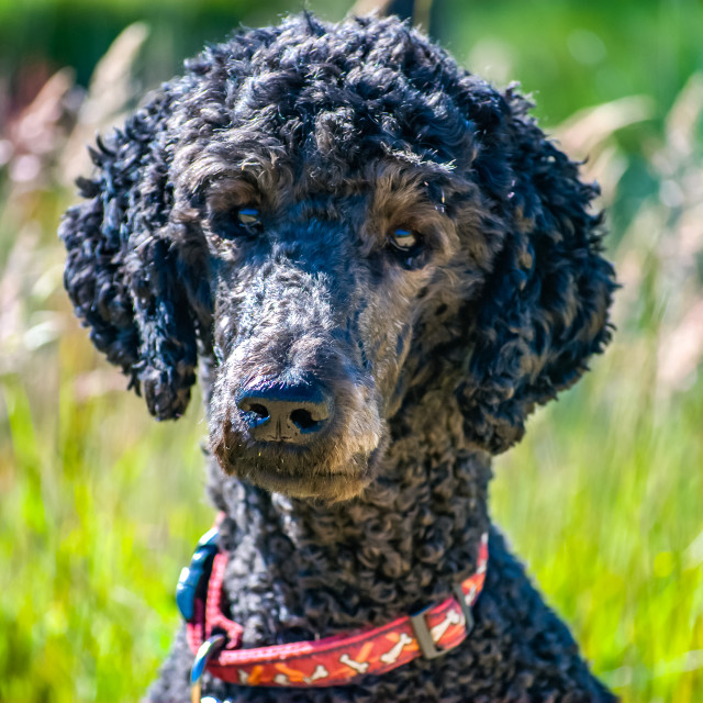 """Portrait of a standard poodle head and shoulders"" stock image"