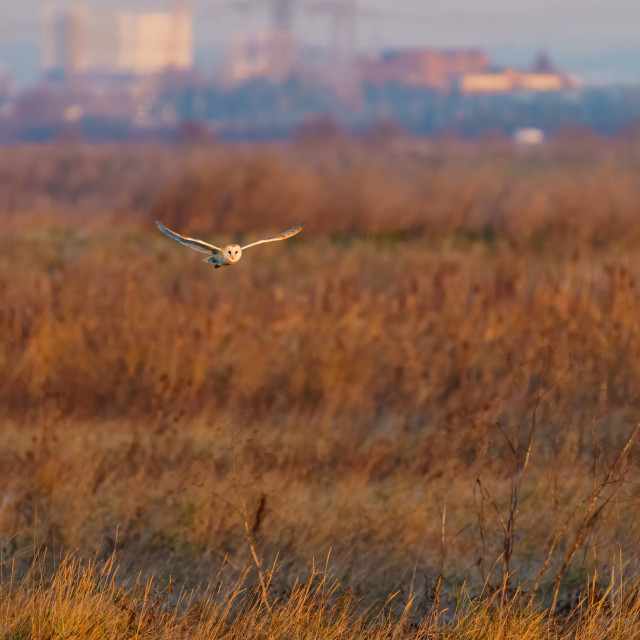 """Barn owl (Tyto alba) in flight taken in England"" stock image"
