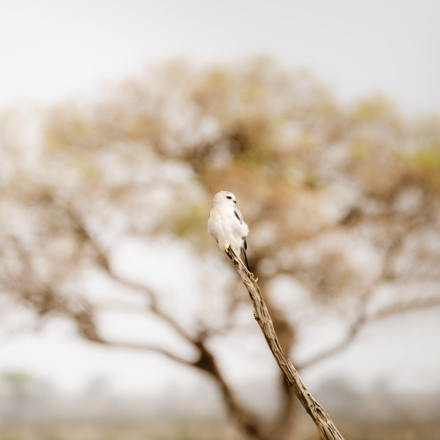 """Black-shouldered Kite (Elanus axillaris)"" stock image"