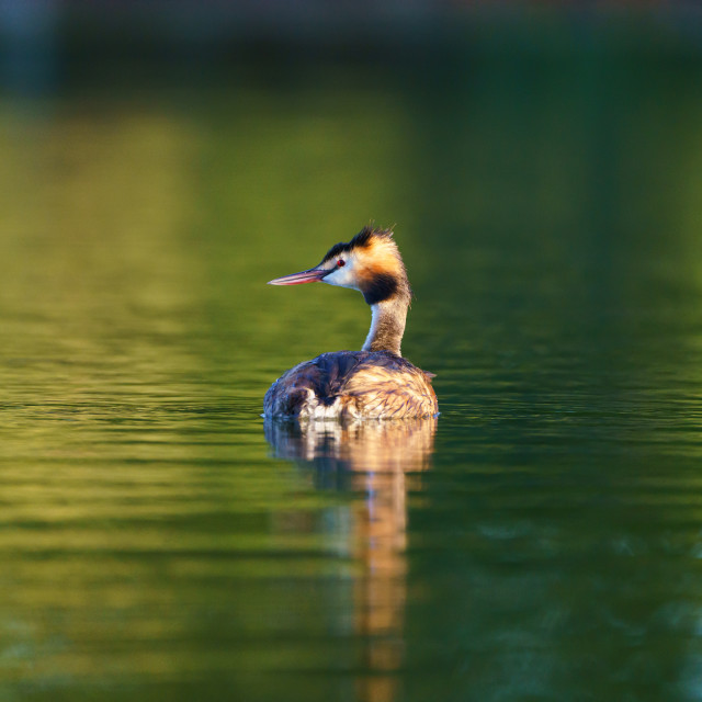 """Great Crested Grebe (Podiceps cristatus), taken in the UK"" stock image"