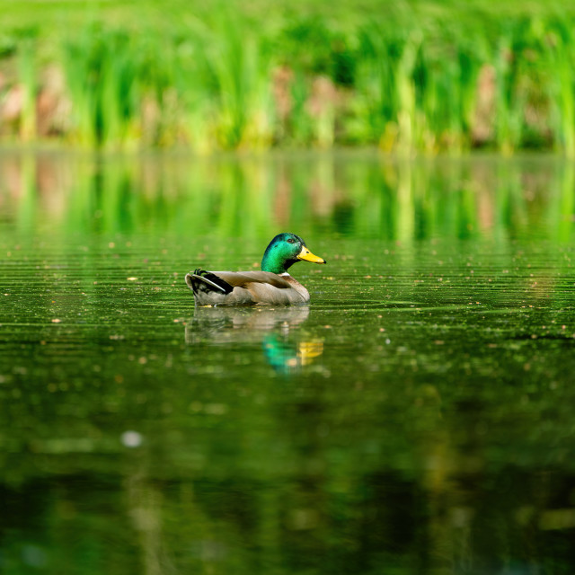 """Mallard Duck (Anas platyrhynchos), taken in England"" stock image"