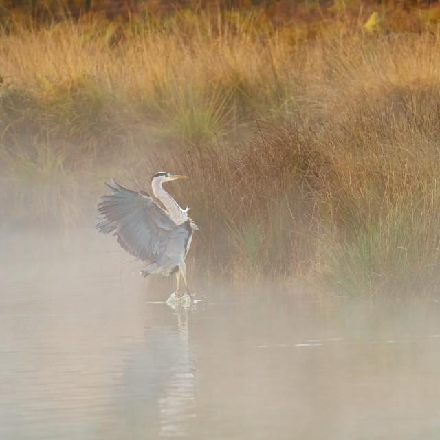 """Grey Heron (Ardea cinerea), taken in UK"" stock image"