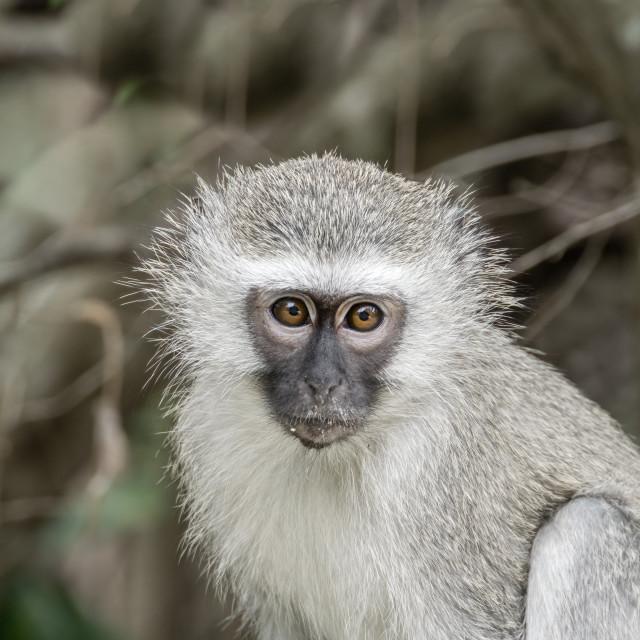 """""""Vervet Monkey (Chlorocebus aethiops)"""" stock image"""