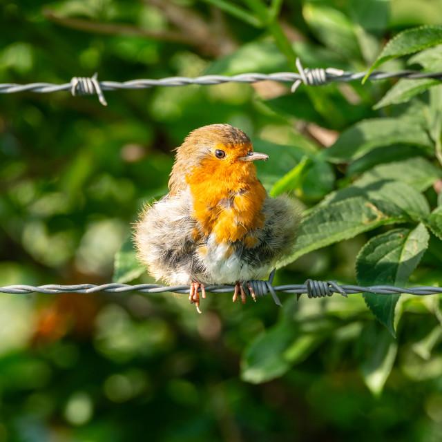 """European Robin (Erithacus rubecula)"" stock image"