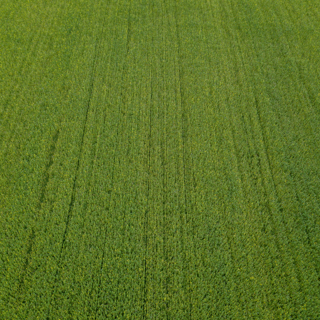 """Drone flight over a field of rapeseed"" stock image"