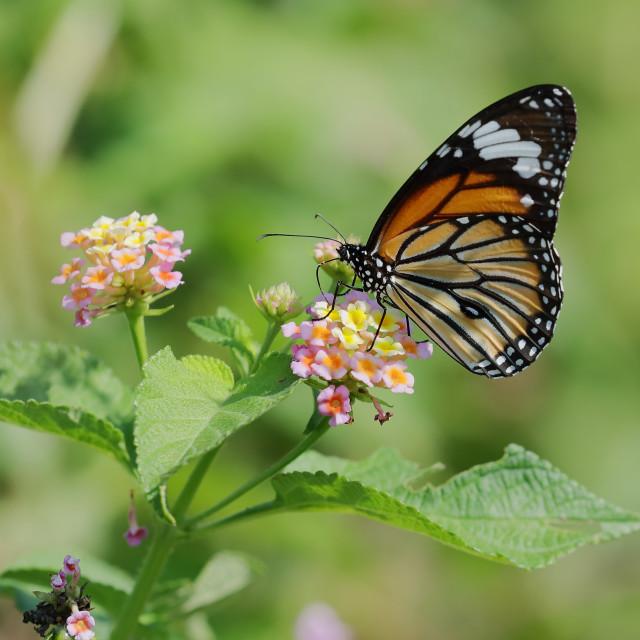 """Danaus genutia, the common tiger"" stock image"