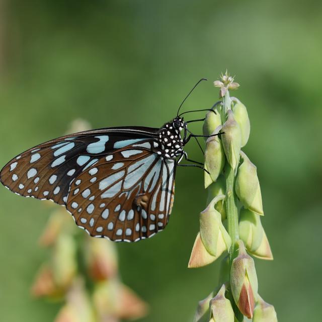 """Tirumala limniace, the blue tiger"" stock image"