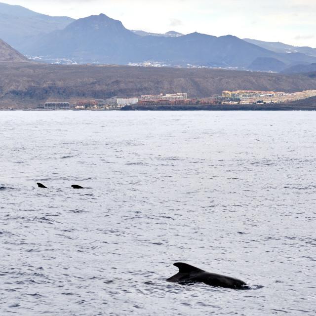 """Long-finned pilot whale in waters of Mediterranean Sea. Tenerife"" stock image"