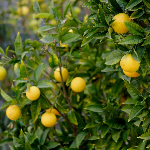 """""""Bunches of fresh yellow ripe lemons hanging on tree branches clo"""" stock image"""
