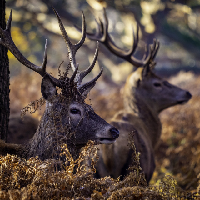 """Stag"" stock image"