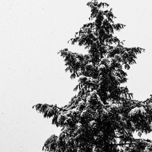 """conifer tree covered with snow"" stock image"
