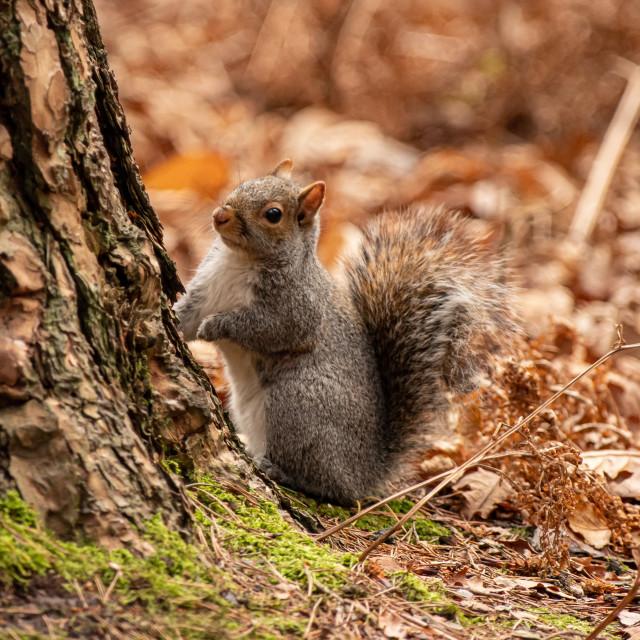 """""""Square squirrel"""" stock image"""