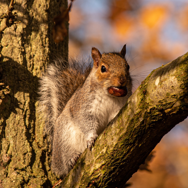 """""""Squirrel with her chestnut"""" stock image"""