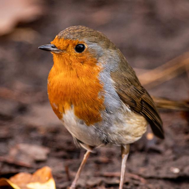 """Muddy Robin"" stock image"