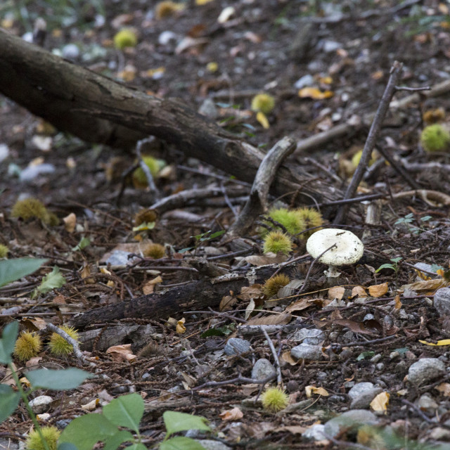 """""""inedible mushroom in the wood during autumn"""" stock image"""