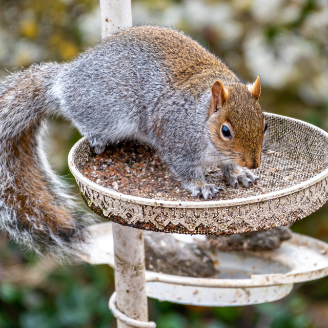 """""""Squirrel on the feeder"""" stock image"""