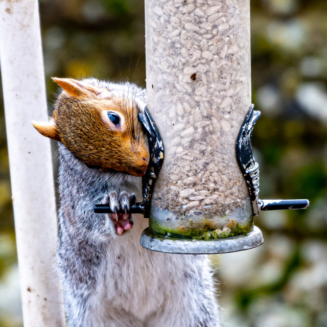 """""""Grey Squirrel on the feeder"""" stock image"""