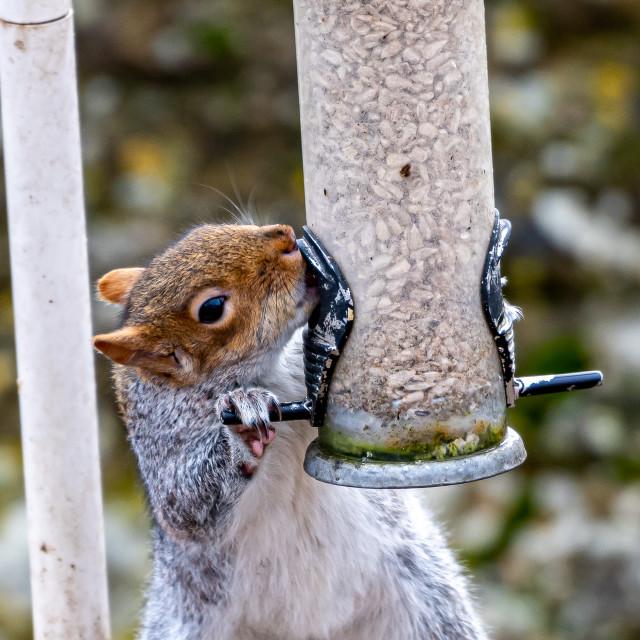 """Grey Squirrel on the Bird Feeder"" stock image"