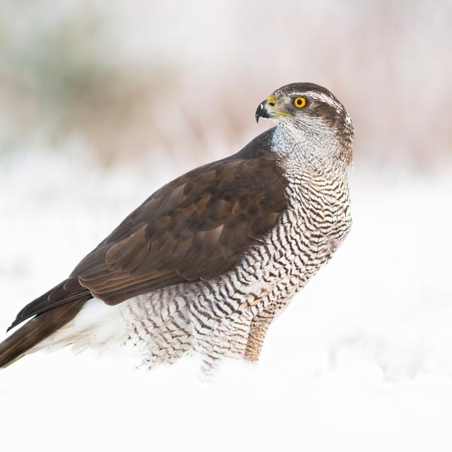 """Northern goshawk, accipiter gentilis on snow in winter"" stock image"