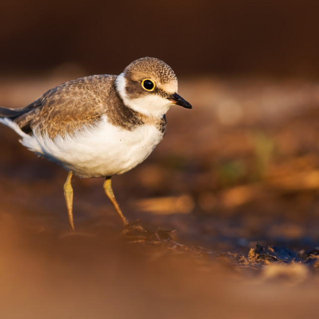 """""""Young little ringed plover wading in swamp in summer at sunrise."""" stock image"""