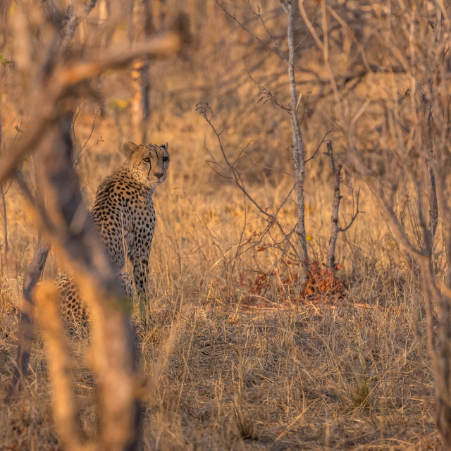 """Cheetah standing in woodland during golden hour"" stock image"