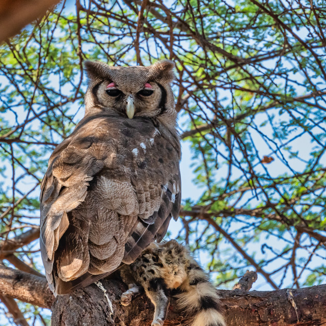 """Verraux Eagle Owl with Genet as prey"" stock image"