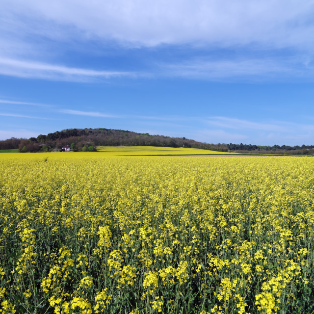 """Rapeseed field"" stock image"