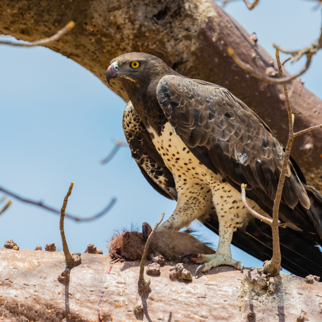 """Martial Eagle in a tree with kill"" stock image"