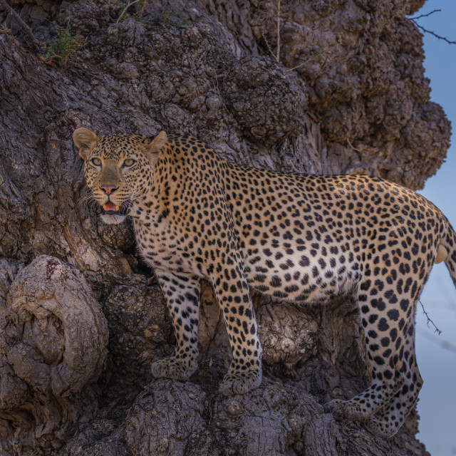 """Leopard on the edge of tree trunk"" stock image"