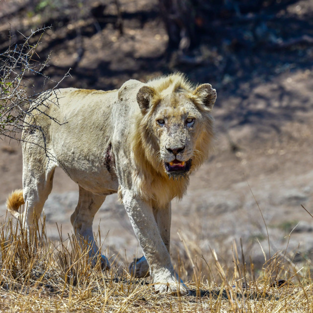 """Male white lion - Kruger"" stock image"