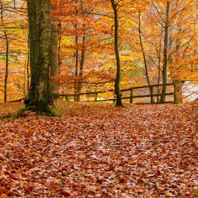 """Leaves in Autumn colours cover the ground in a forest in Perthshire, Scotland"" stock image"