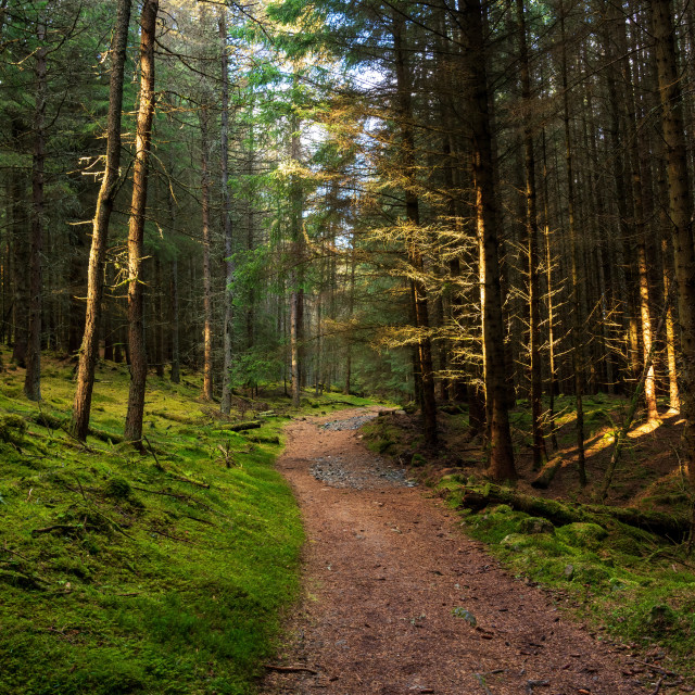 """""""A pine forest along the Cateran trail in Perthshire, Scotland"""" stock image"""