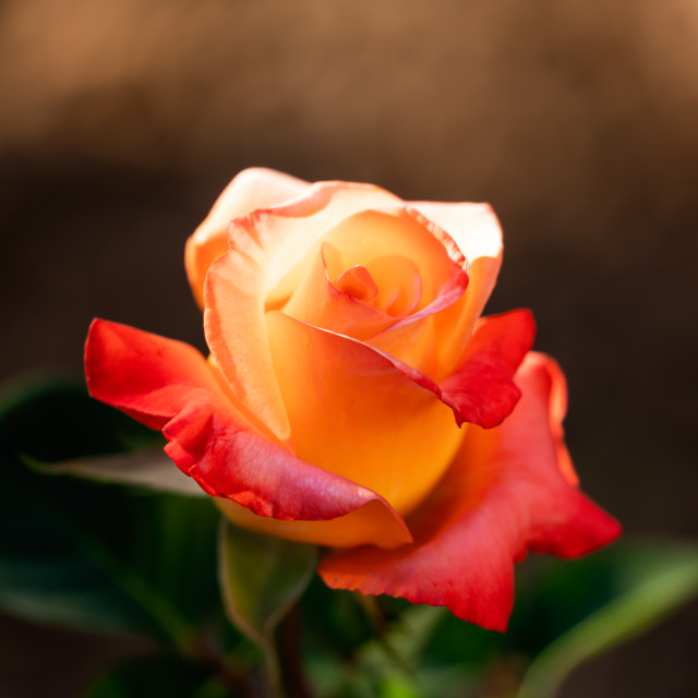 """Close-up of a Pink and orange rose with a blurred background"" stock image"