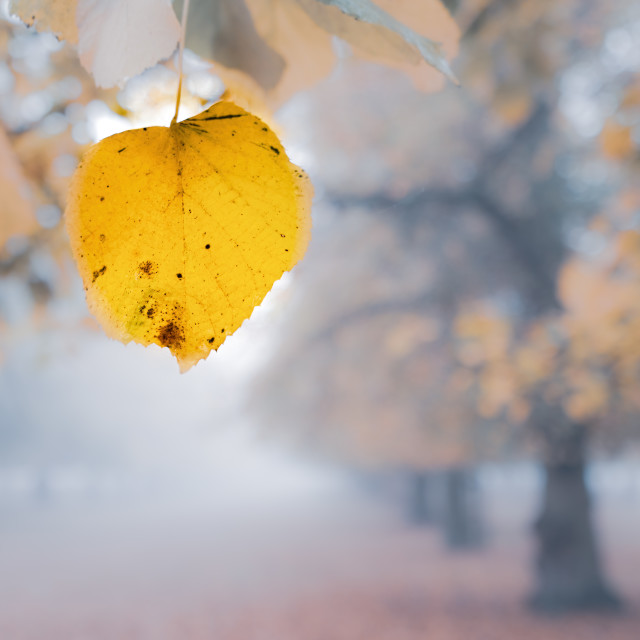 """Autumn leaf on a foggy cold, morning in a park in West London,"" stock image"
