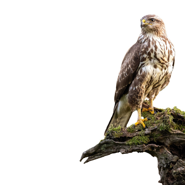 """""""Common buzzard, buteo buteo, sitting on moss covered stump isolated on white"""" stock image"""