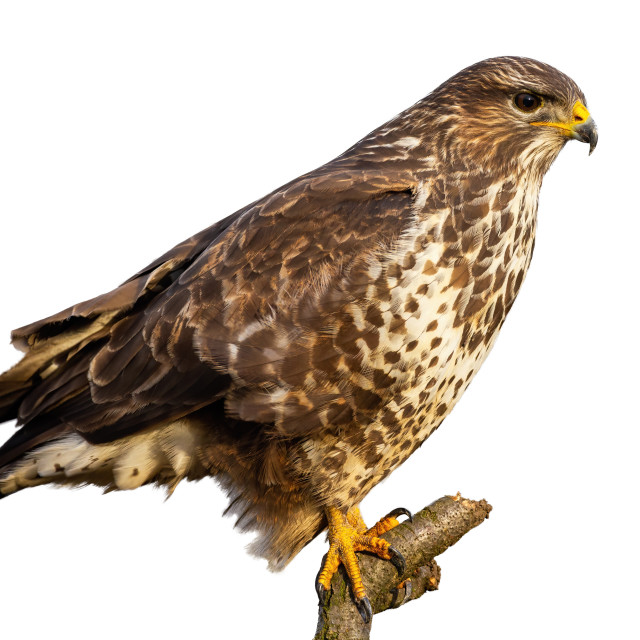 """""""Common buzzard, buteo buteo, sitting perched isolated on white background"""" stock image"""